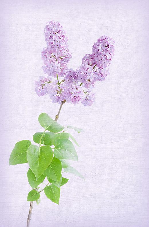 Aminus3 Color Featured photo Lilacs | 20 April 2010