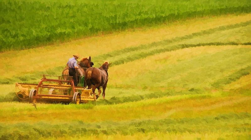 Amish Haying
