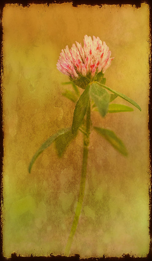 Red Clover with Textures