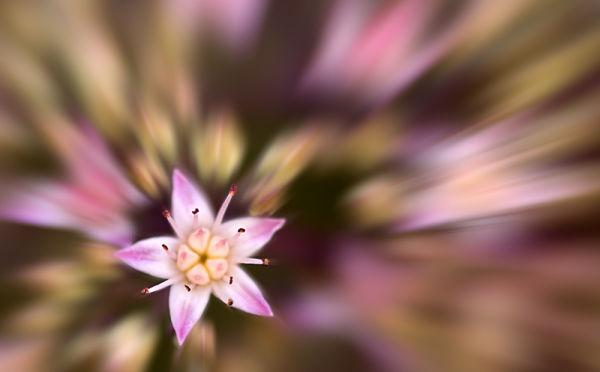 Sedum Blur 2