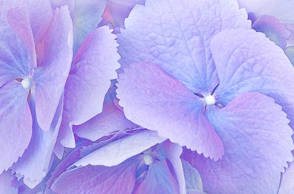 Big Leaf Hydrangea 2