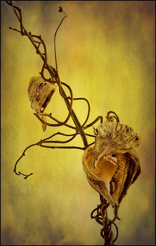 Milkweed Pod with Vine & Textures