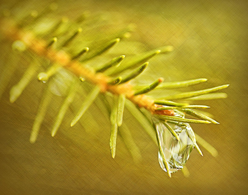 Water drop on Spruce branch