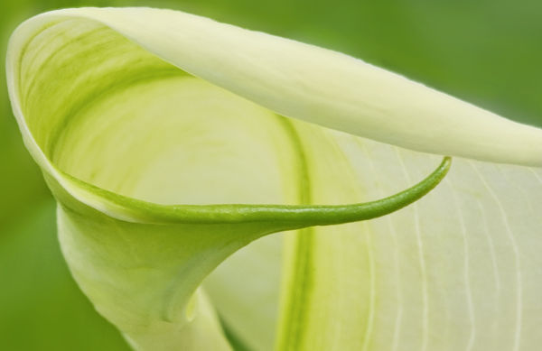 Calla Lily Detail