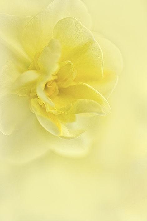 Soft Daffodil
