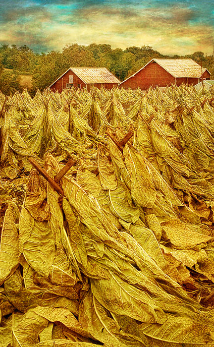 tobacco tobacco-shocks rural Amish Pennsylvania fa