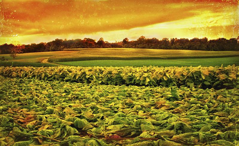 Tobacco field