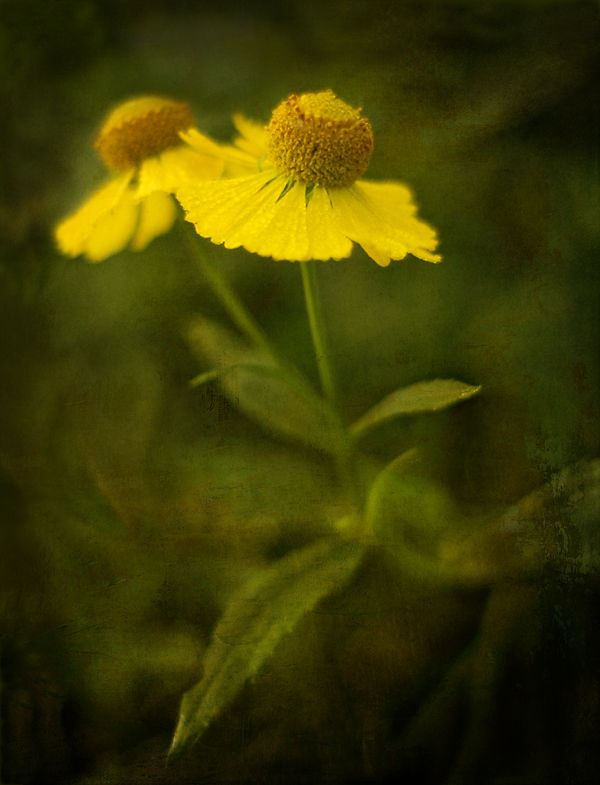 Sneezeweed Helenium-autumnale