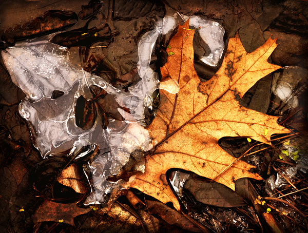 Aminus3 Featured photo Leaf and Ice | 5 January 2012