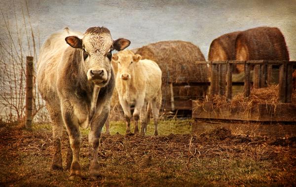 John's Cows