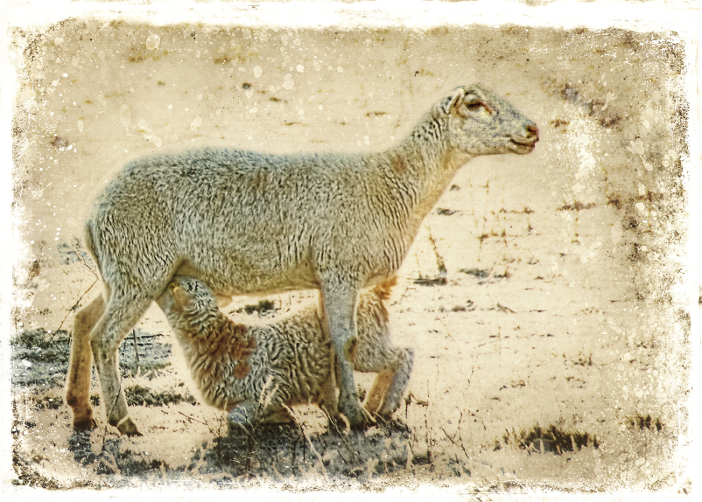 nursing lamb
