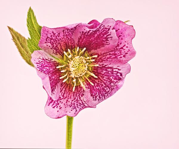 Hellebore or Lenten Rose 2