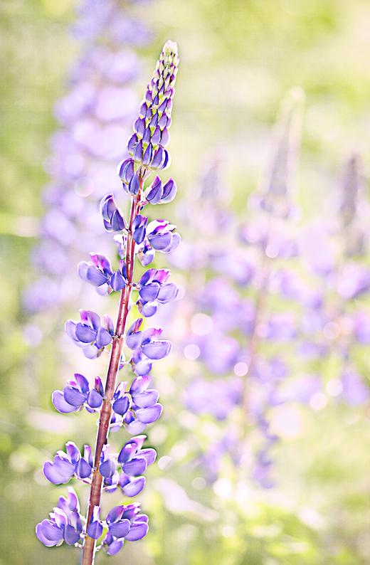 Purple Lupine