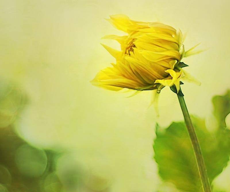Yellow Dahllia