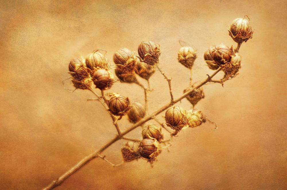 Crepe Myrtle Seedpods