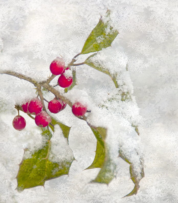 Holly with Snow