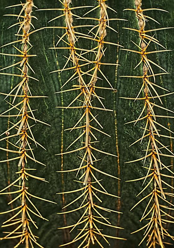 Golden Barrell Cactus