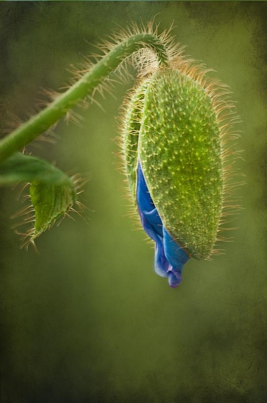 Himalayan Blue Poppy Bud