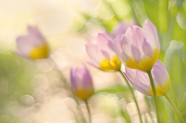 Tulip Bakeri