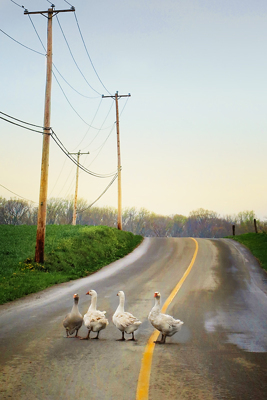 Aminus3 Featured photo Geese Crossing Road | 27 May 2013