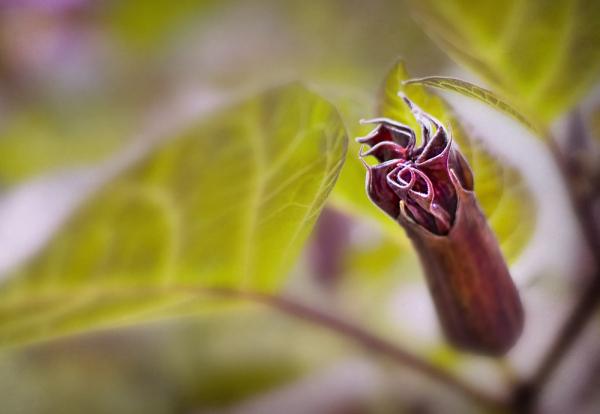 Downy-Thorn-Apple Bud
