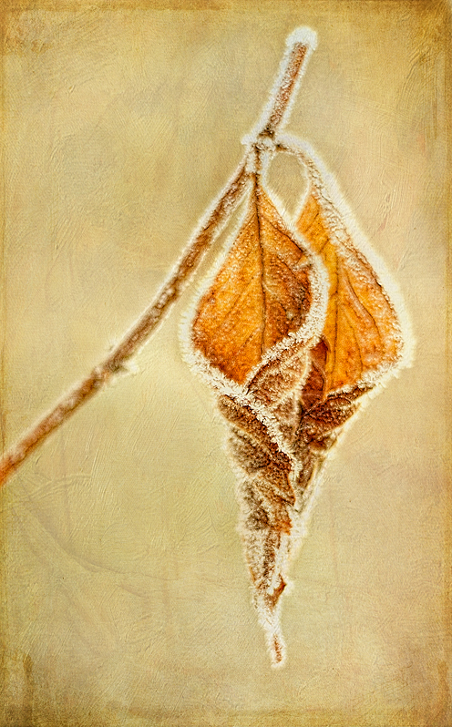 Frost rimmed leaf