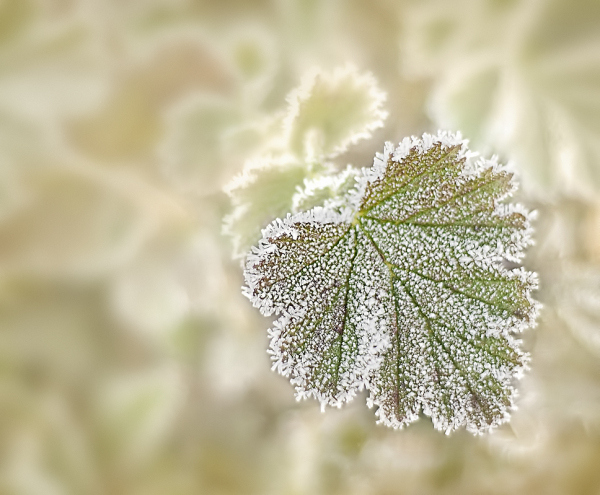 Another Frosted Leaf