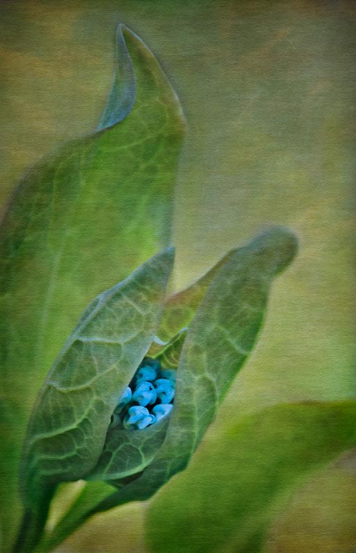 Virginia Bluebell Buds