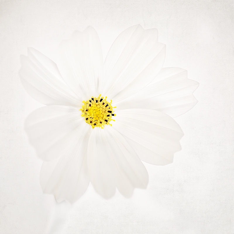 White_Cosmos flower Cosmos floral