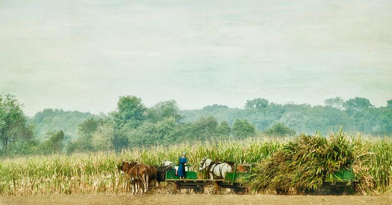 Amish Harvesting Corn