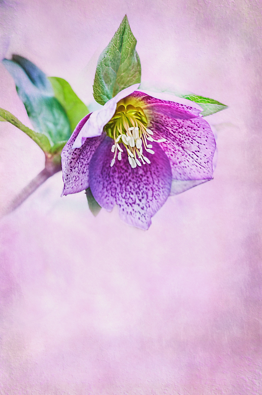 Another Hellebore