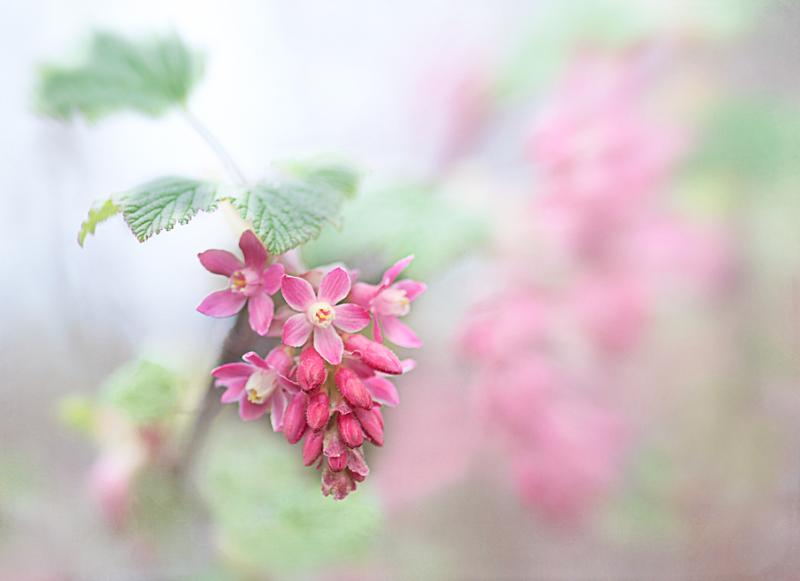 native pink flower
