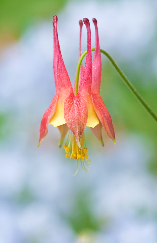 Native Columbine
