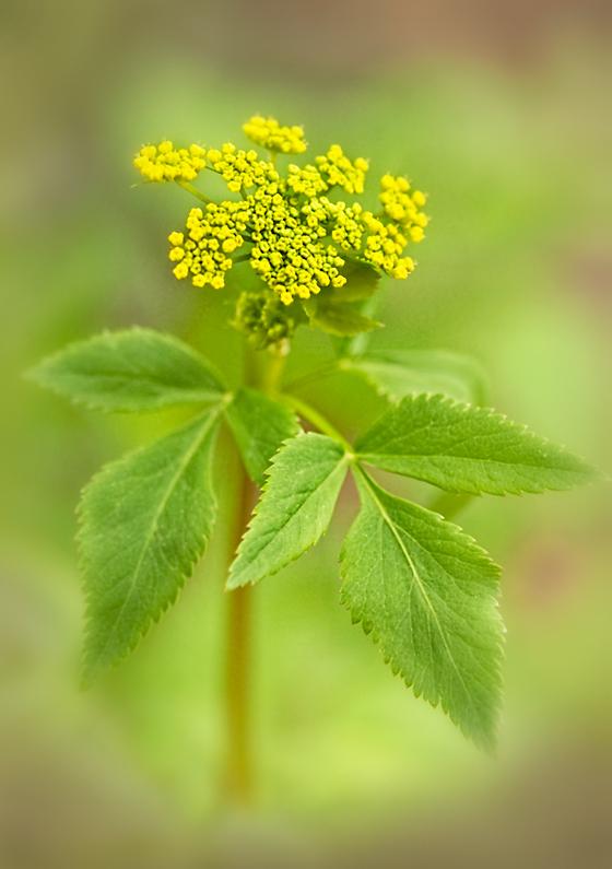 flower native wildflower yellow my_garden
