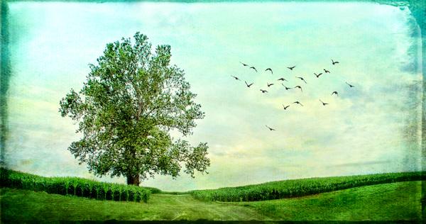 Corn Field with Tree