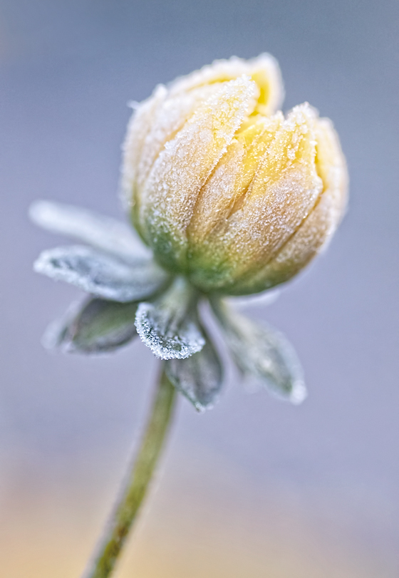 Dahlia with Frost