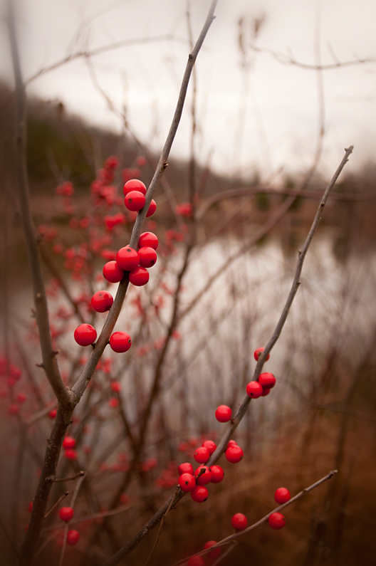 Red berries on native shrub