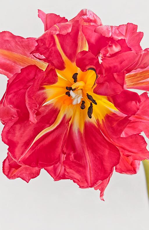Parrot Tulip Macro