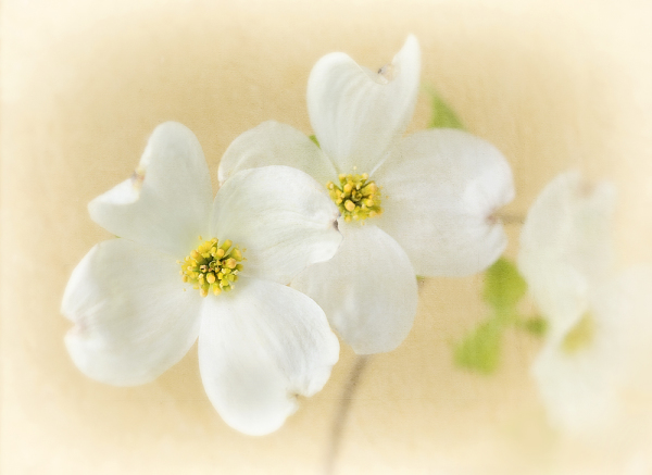 Three  Dogwood Blooms