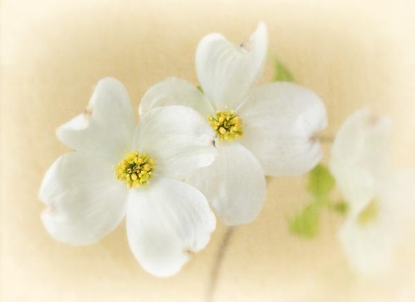 Dogwood Flowers