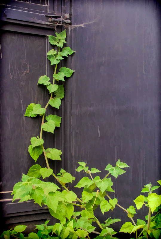 Vine on Garden Gate