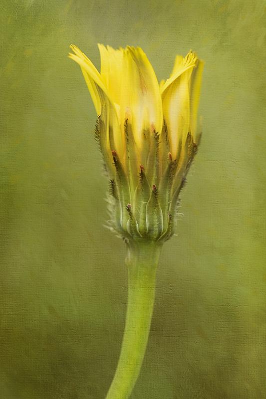 Little yellow flower, Scotland