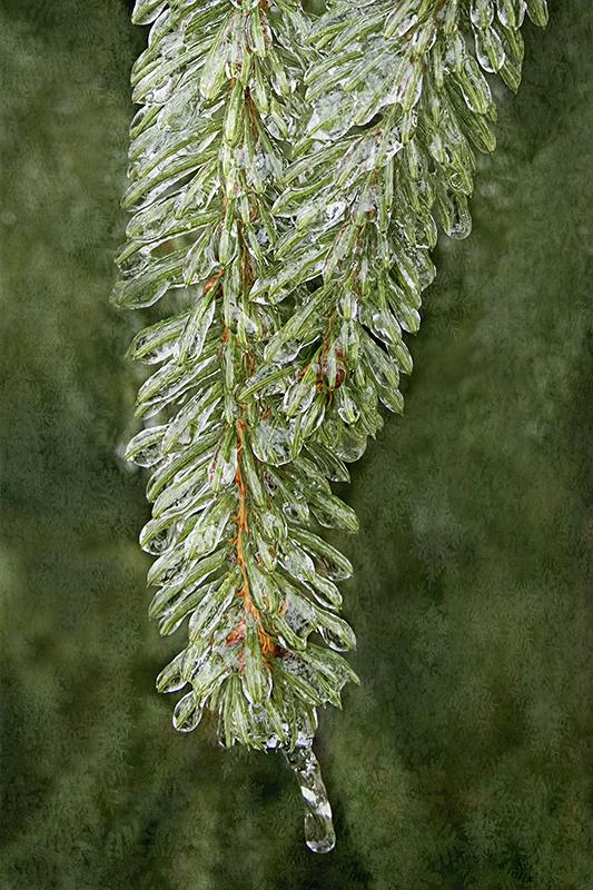Icy evergreen