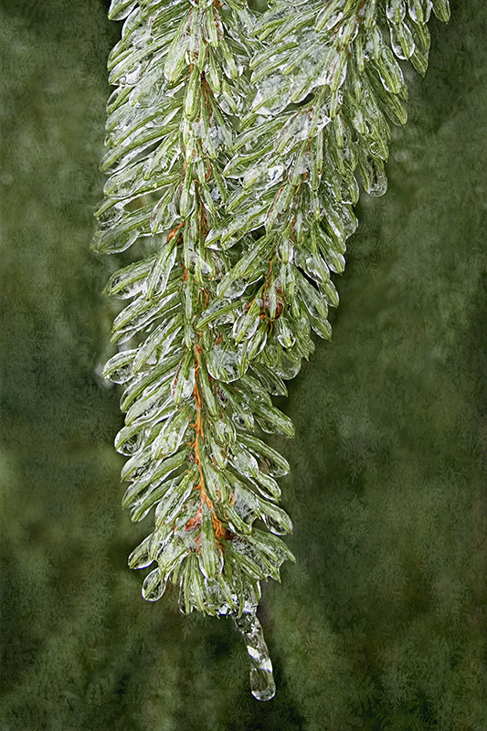 Icy evergreen