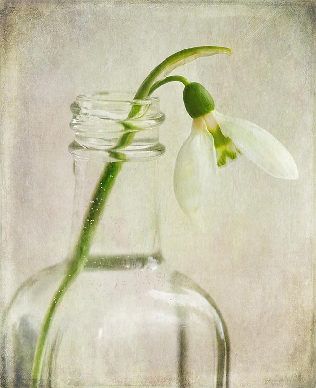 Snowdrop in Vase
