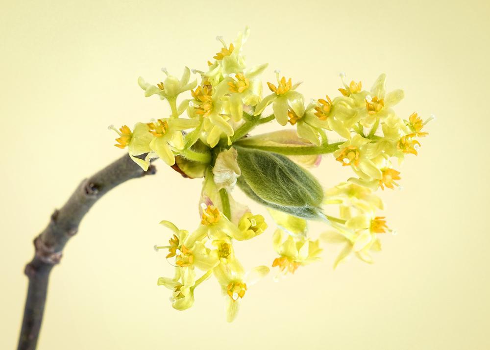 Sassafras Flowers