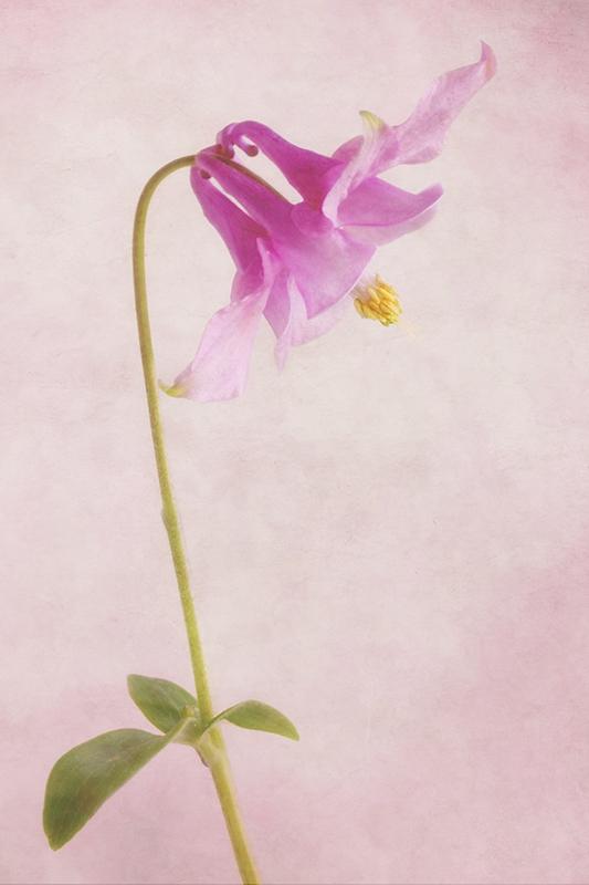 Pink Columbine