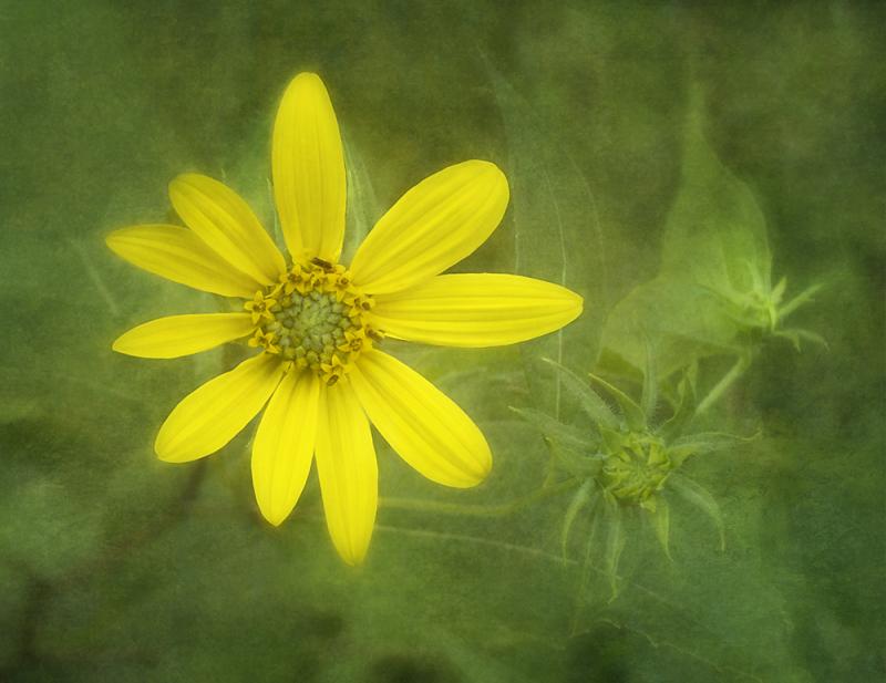 Native Sunflower