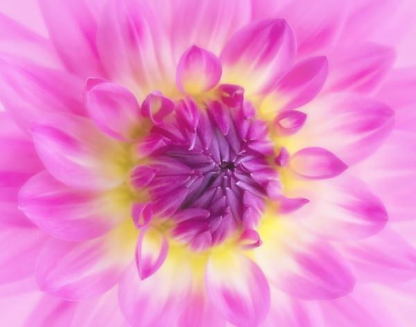 Pink and Yellow DAhlia Macro