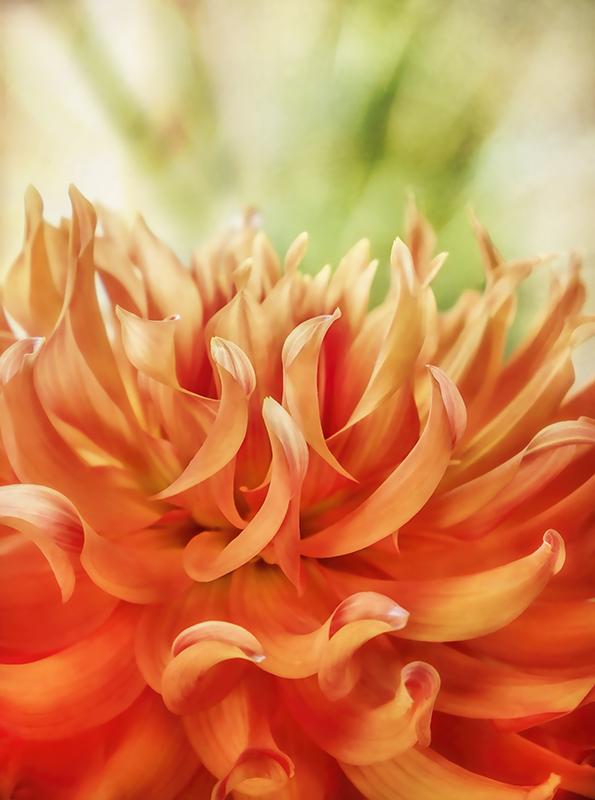 Orange Dahlia Petals